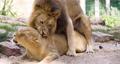 4K - Lions mating. Full scene 58983947