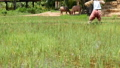 HD. rice fields in Thailand , South East Asia. Rice field and straw with scarecrow and two cows.countryside lifestyle in Asia. tracking footage  59032234