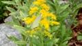 風で揺れる黄色い花に止まっている白い蝶が飛び立つ 59193815
