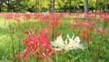 風に揺れる赤い彼岸花の中の白い彼岸花 59294333