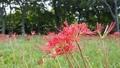樹木の下で風に揺れる赤い曼珠沙華 59294803