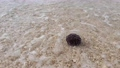 A sea urchin on a pebble beach is playing with the waves 59346681