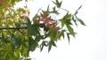 紅葉し始めた風に揺れるプラタナスの葉と実 59363728