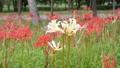 風に揺れる赤い曼珠沙華の中の白い曼珠沙華 59369230