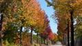 秋色のもみじばふう並木 フィクス 4k 59411502