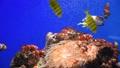 カクレクマノミ水槽 熱帯魚 59414012