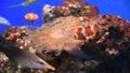 カクレクマノミ 水族館 水槽 59534716