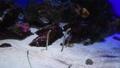 チンアナゴ 水族館 水槽 59599962
