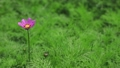 Cosmos swaying in the wind 59656142