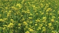 Yellow Rape Blossoms Blooming in the Fields 59656145