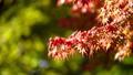 白鳥庭園の紅葉 クローズアップ フィクス撮影 59802728