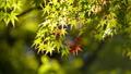 白鳥庭園の一部紅葉 クローズアップ フィクス撮影 59802729