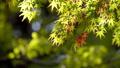 白鳥庭園の一部紅葉 クローズアップ フィクス撮影 59802730
