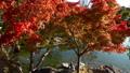 白鳥庭園の紅葉と光の反射 フィクス撮影 59802741