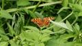 緑の葉の上で羽ばたきするキタテハ 60003910