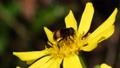 黄花から花粉を食べるオオハナアブ 60003914