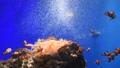 カクレクマノミ 熱帯魚 水族館 イソギンチャク 60016681