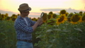 A farmer examines a sunflower through a magnifier on the field in summer evening. A young male 60075730