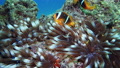 Nemo clown fish in the anemone on the colorful healthy coral reef. Anemonefish nemo couple swimming underwater. Red Sea FullHD 60341694