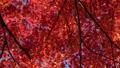 백조 정원의 단풍과 四阿 처마 클로즈업 슬라이더 촬영 60428809