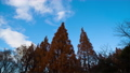 Metasequoia autumn leaves, blue sky and white clouds Timelapse Fix 60484308