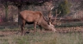 Close up of a red deer eating, UK 60526904