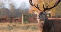 Close up of a red deer eating, UK 60526905