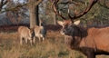Close-up of red deer stag with hinds in autumn, UK 60526906