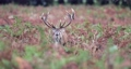 Close-up of a red deer stag calling during rutting season in autumn, UK 60526908