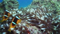 Nemo clown fish in the anemone on the colorful healthy coral reef. Anemonefish nemo couple swimming underwater. Red Sea FullHD 60529820