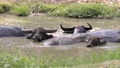 water buffalo in mud pond 60585686