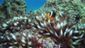 Nemo clown fish in the anemone on the colorful healthy coral reef. Anemonefish nemo couple swimming underwater. Red Sea FullHD 60697318