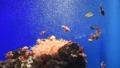 カクレクマノミ 水槽 イソギンチャク 60707100