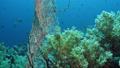 Sea fan Annella sp. feeding underwater in Red Sea. Egypt 60731114
