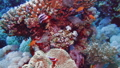 Net Fire Coral Millepora dichotoma , Glare of sunlight on colorful corals near the water surface. Red Sea Egypt 60838688