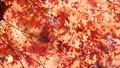 秋葉在日本 60955649