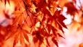 秋天的日本秋葉 60956614