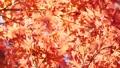 秋天的日本秋葉 60956618