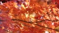 秋天的日本秋葉 60956621