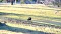 芝生でエサを探す鳥 61218448