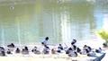 水辺で休むカモたち 61218453