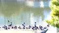 水辺で休むカモたち 61218454