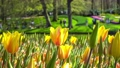 Amazing yellow tulips blooming at beautiful local touristic park, 4k 61254054