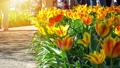 Amazing yellow tulips blooming at beautiful local touristic park, 4k 61254056