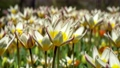 Amazing white and yellow tulips blooming at beautiful local touristic park, 4k 61254057