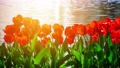Amazing red tulips blooming at beautiful local touristic park, 4k 61254058