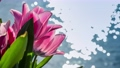 Amazing pink tulips blooming at beautiful local touristic park in front of a lake. 4k 61254059
