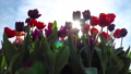 Amazing colorful tulips blooming at beautiful local touristic park, full hd 61254061