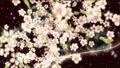 桜と墨のスパーク ループ 61277679