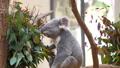 王子動物園の人気者 コアラ 61459273